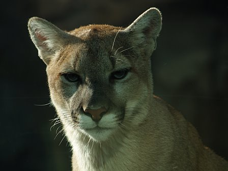 A young cougar at the Philadelphia Zoo