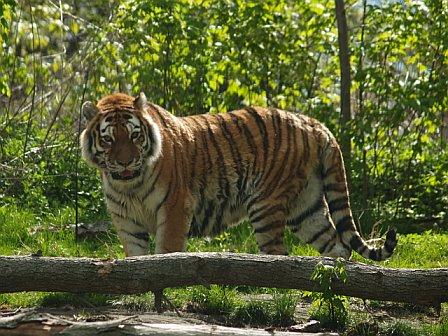 New Tiger