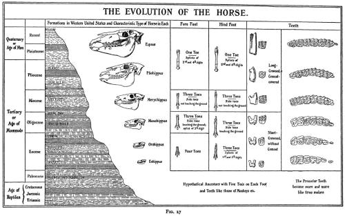Horse Evolution Simplified