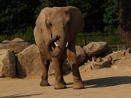 Petunia Elephant